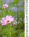 植物 花朵 花卉 43970298