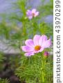 植物 花朵 台灣 43970299