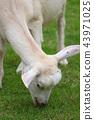흰색 염소 43971025