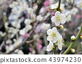 White plum blossoms in full bloom, glow of early spring 43974230