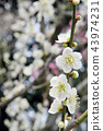 White plum blossoms in full bloom, glow of early spring 43974231