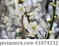 Graceful white plum blossoms 43974232