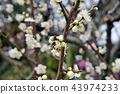The connection of life between honeybees and white plums 43974233