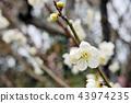 Graceful white plum blossoms close up 43974235