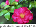 Beautiful mountain tea flowers that overcome difficulties-horizontal position 43974236