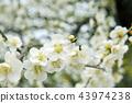 Noble beautiful white plum blossom 43974238