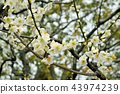 Beautiful white plum blossoms in full bloom 43974239