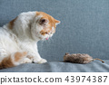Exotic shorthair cat with fake mouse 43974387