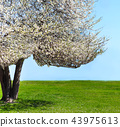 Single blossoming tree in spring 43975613