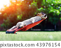 Jack russel terrier dog lies on a deck-chair 43976154