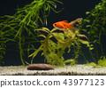 Goldfish in aquarium 43977123