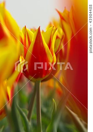 Unusual foreign tulip flower. 43984488