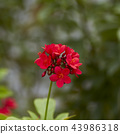 red flowers in the outdoor garden 43986318