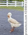 Geese in the garden 43986413