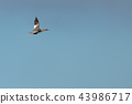 Flying Goosander duck against blue skies 43986717