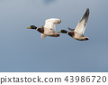 Flying Mallards closeup 43986720