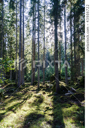 Backlit spruce tree forest 43986722