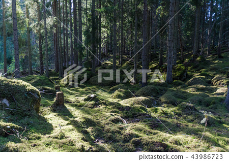 Moss covered forest floor 43986723