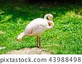 zoo, flamingo, bird 43988498