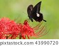 Higanki花和swallowtail蝴蝶 43990720