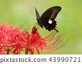 Higanki花和蝴蝶 43990721