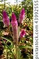 celosia, bloom, blossom 43992555