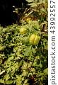 balloon vine, fruit, green 43992557