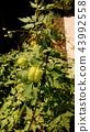 balloon vine, fruit, green 43992558