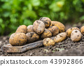 Fresh potatoes which are free lying on the soil. 43992866