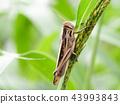 蚱蜢 日本螞蚱 蟲子 43993843