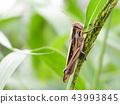 蚱蜢 日本螞蚱 蟲子 43993845