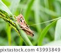 蚱蜢 日本螞蚱 蟲子 43993849