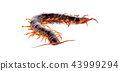 centipede on white background 43999294