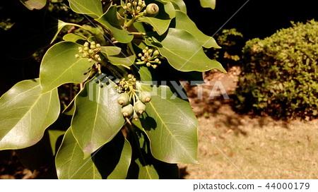 dendropanx trifidus trees, fruit, unripe 44000179