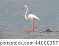 Flamingo Beautiful Birds in the pond 44000357