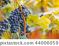 Bunch of grapes on a vineyard during sunset. 44006059