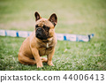 Young Brown French Bulldog Dog Sitting In Green Grass, In Park O 44006413