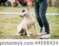 White English Bull Terrier Bullterrier Standing Near Woman Feet  44006434