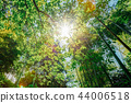 Sun Shining Through Canopy Of Trees Bamboo Woods. Sunlight In Tr 44006518