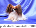 papillon dog old lady 44006980
