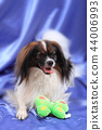 papillon dog young lady 44006993