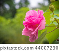 Pink hibiscus flower, Chinese rose.  44007230