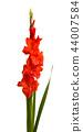 beautiful gladiolus flowers isolated 44007584