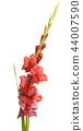 beautiful gladiolus flowers isolated 44007590