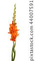 beautiful gladiolus flowers isolated 44007591