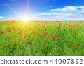 scarlet poppies on the background of  rapeseed. 44007852