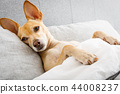 sick ill dog in bed 44008237