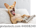 yawning dog in bed with newspaper 44008240
