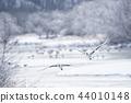 Tancho(北海道·Tsurui)從被冰包圍的棲息處飛行 44010148