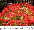 cluster amaryllis, red spider lily, lycoris radiata 44015974
